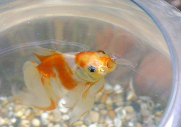 Belgisches Hotel vermietet Goldfische an einsame Gäste